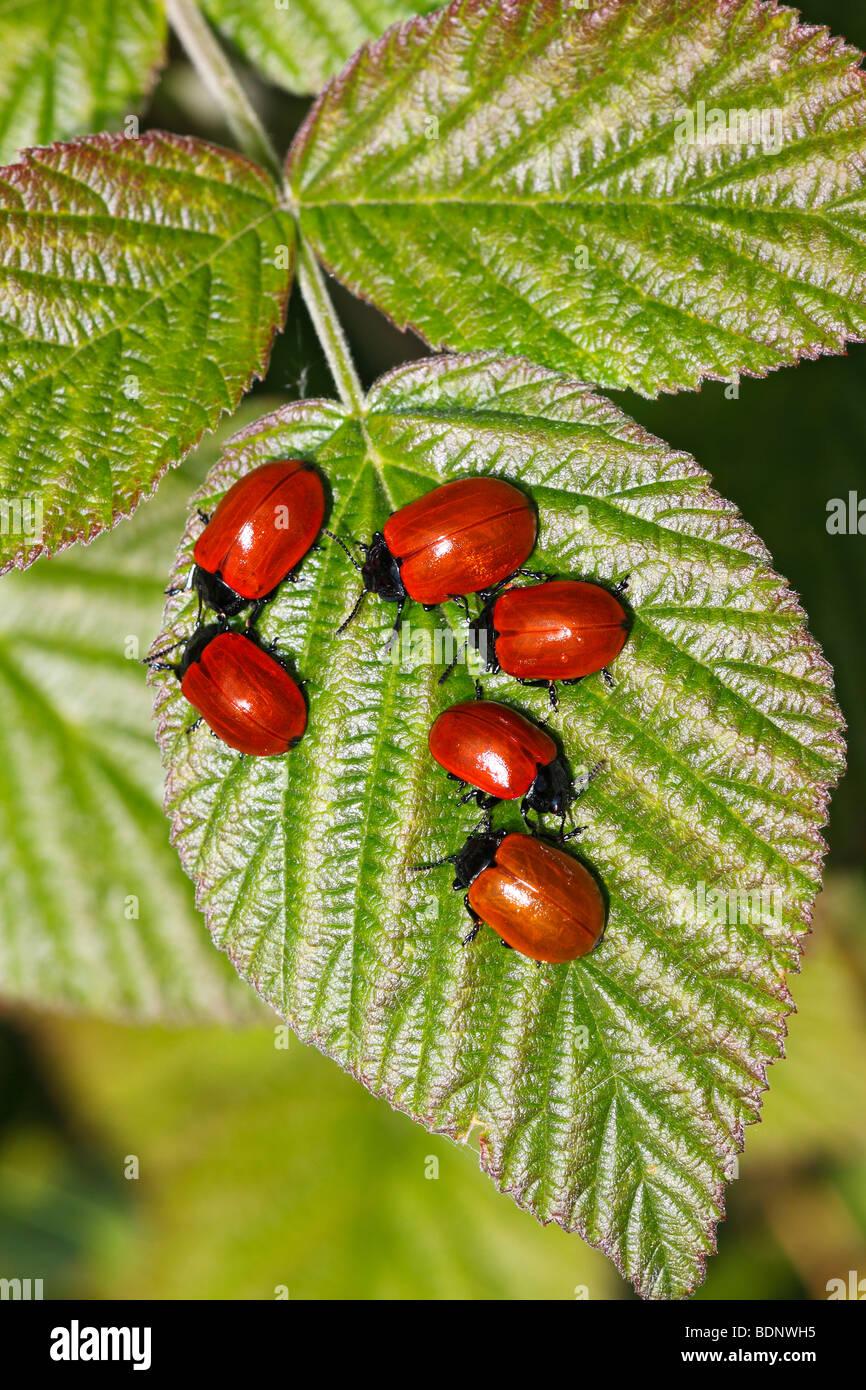Red Poplar Leaf-Beetle, Poplar Leaf Beetle (Melasoma populi) (Chrysomela populi) - Stock Image