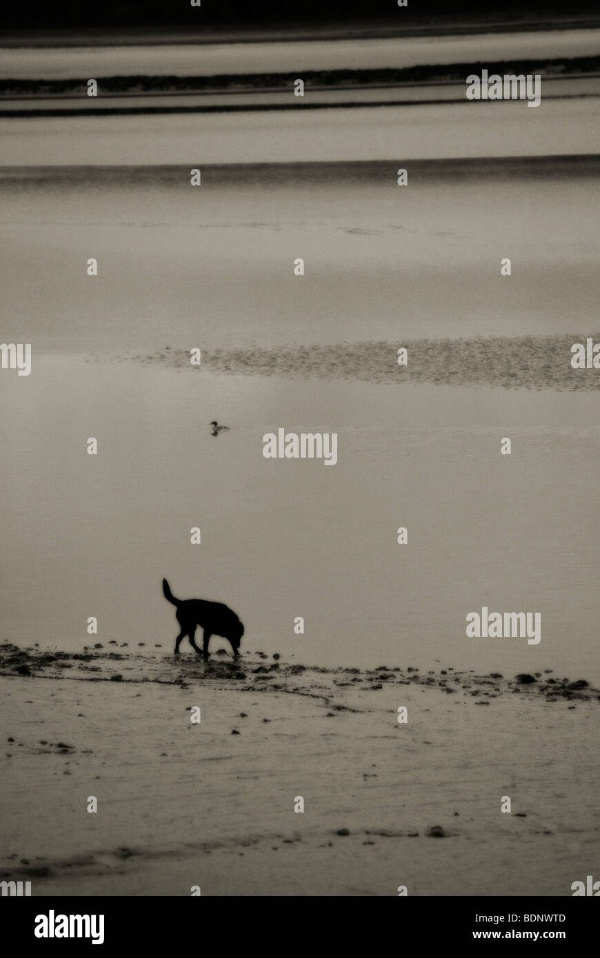 dog on beach - Stock Image