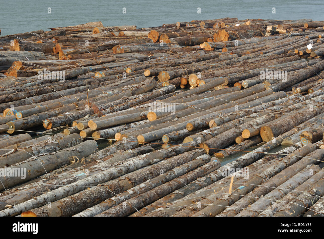 Log booms waiting for transfer to locale mills on the Fraser River. - Stock Image