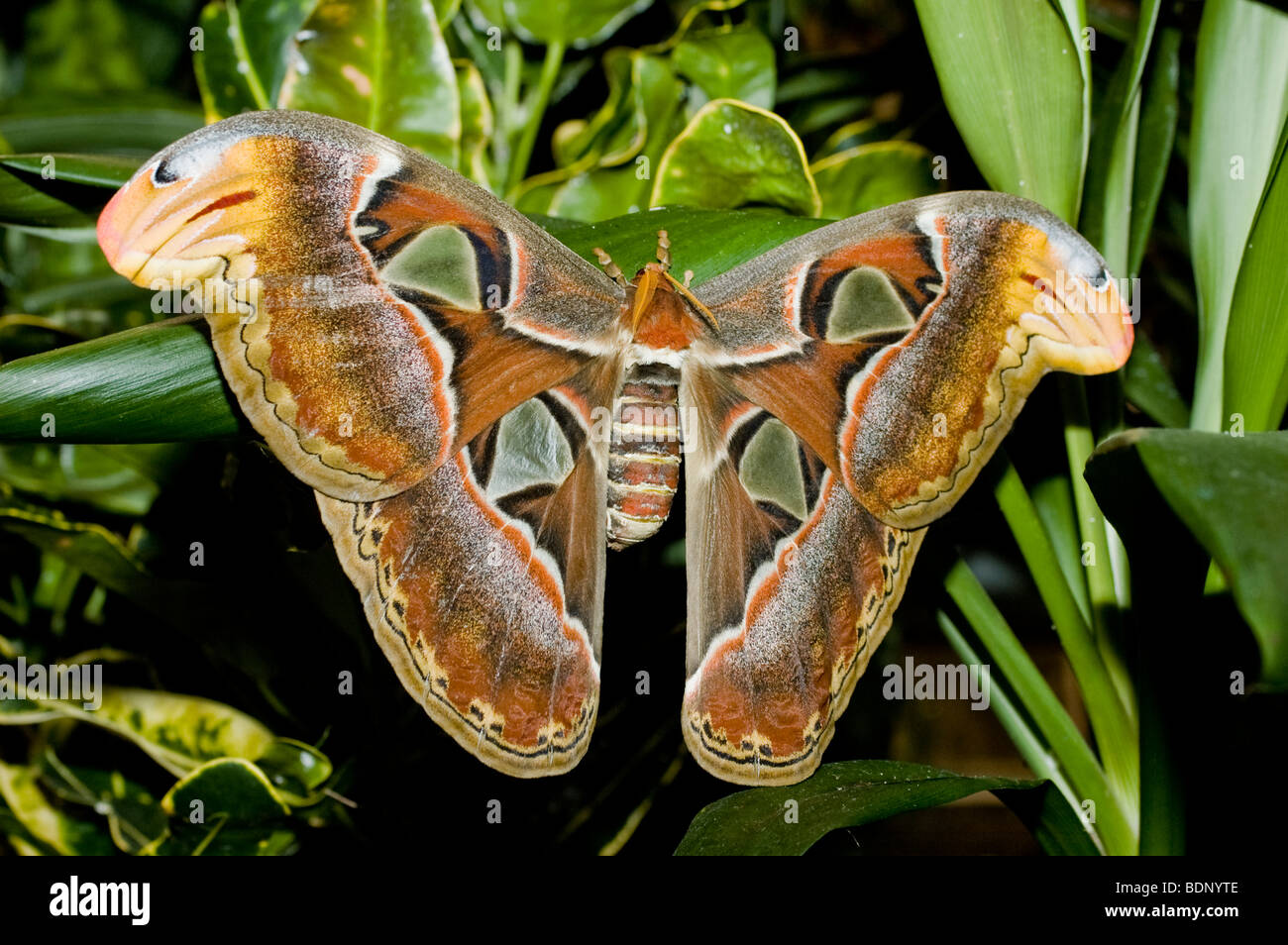 Atlas moth - generally considered the largest moth in the world. - Stock Image