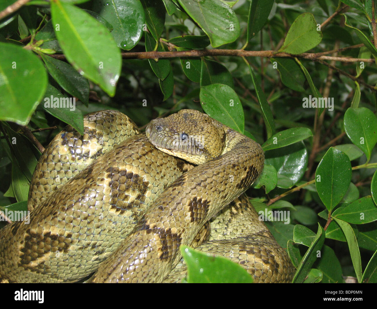 Africa, Madagascar, snake coils around itself in the bushes - Stock Image
