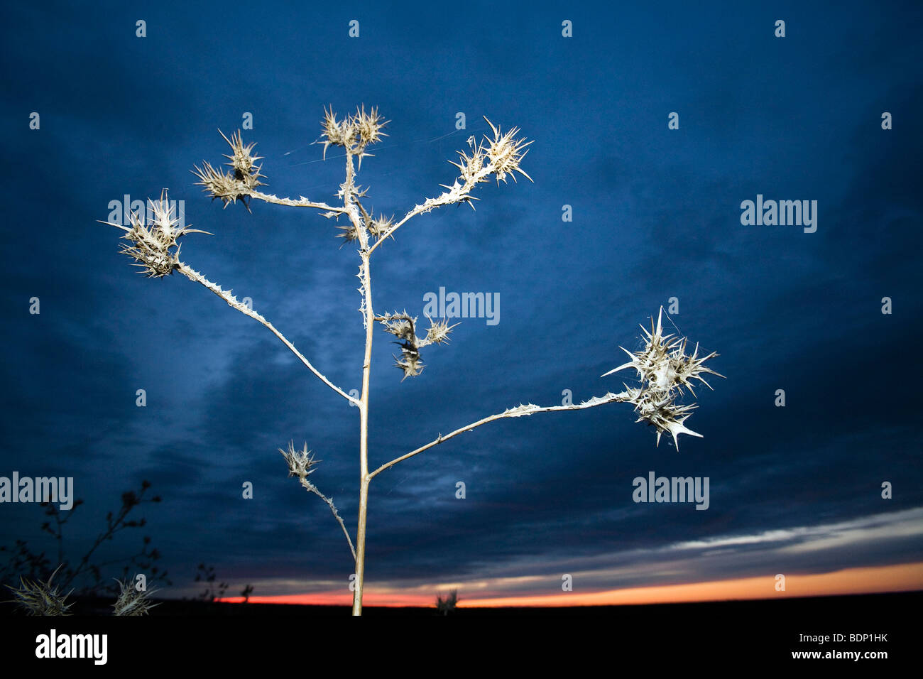 Thistle against a twilight sky - Stock Image