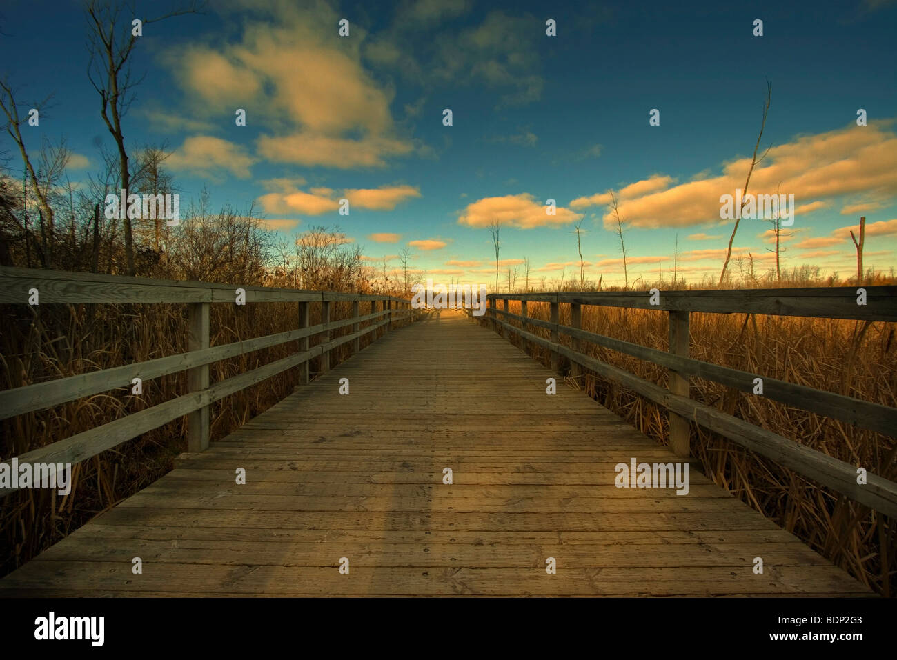 A wooden jetty passing between reed beds under a blue sky - Stock Image