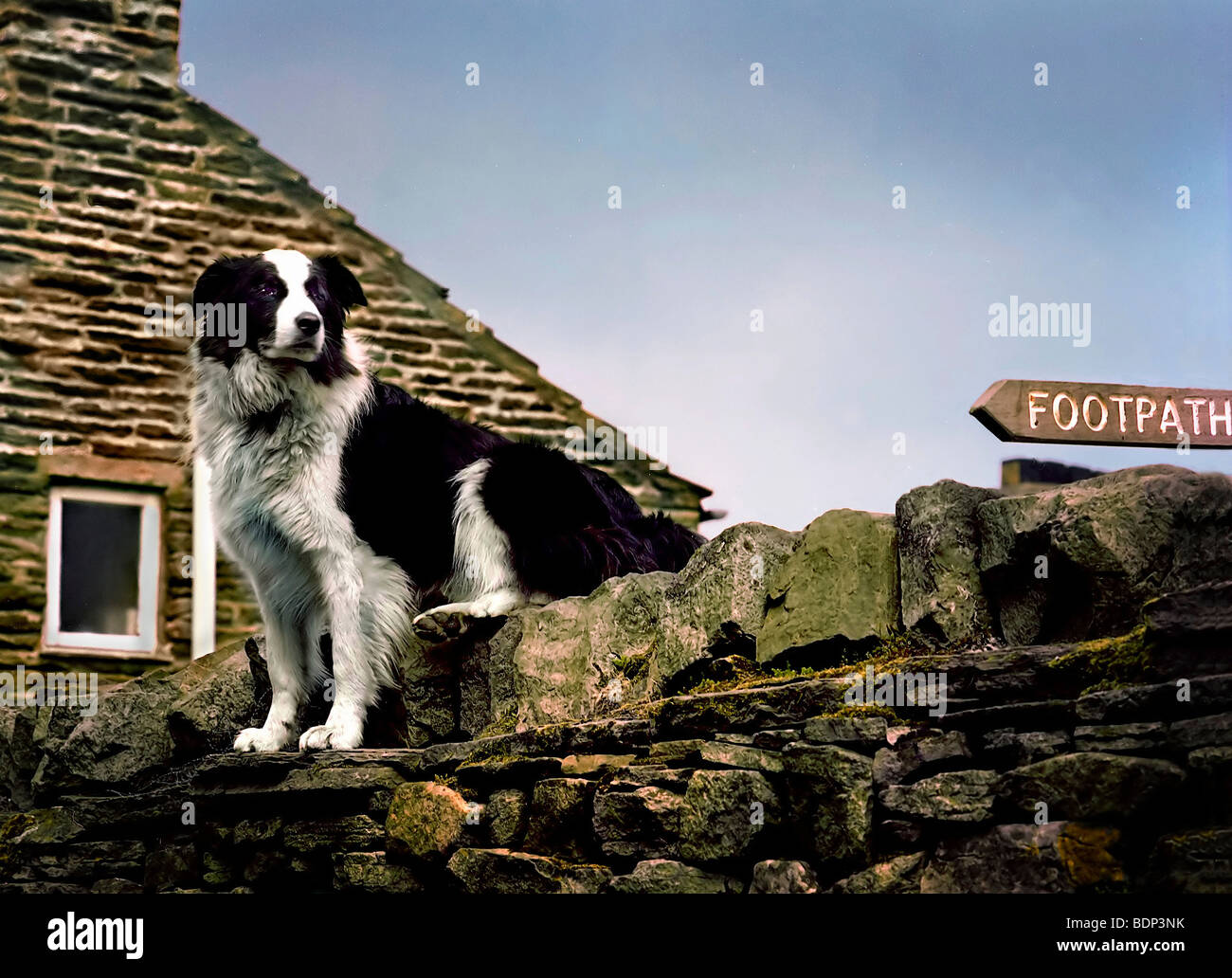 A black and white sheepdog sitting on a stone wall in England - Stock Image