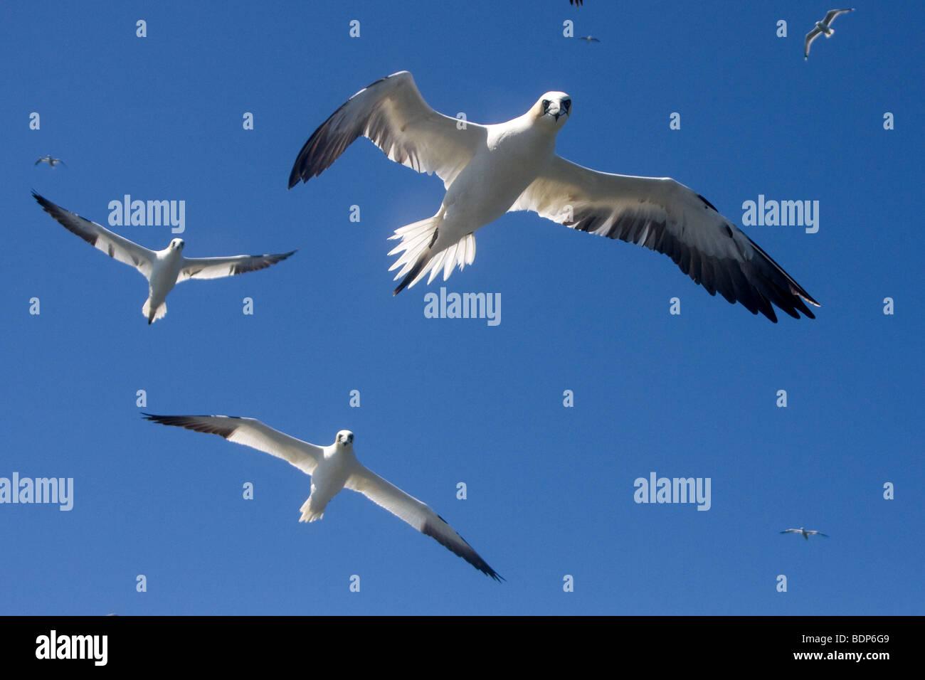 Gannets in Flight - Stock Image