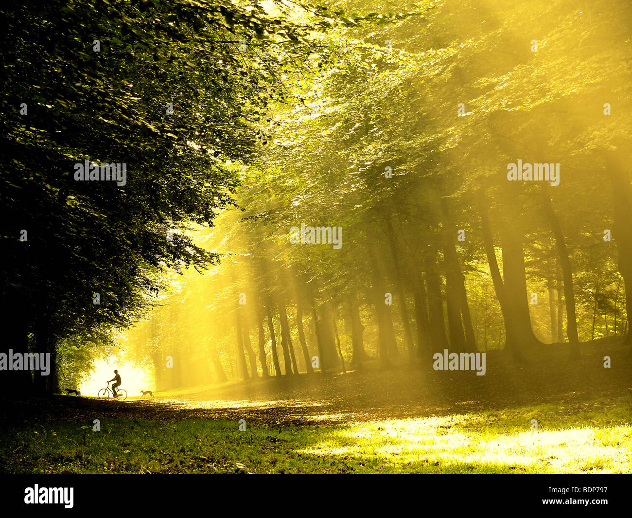 A lone cyclist with dogs in the woods with strong sunlight shining on the path - Stock Image