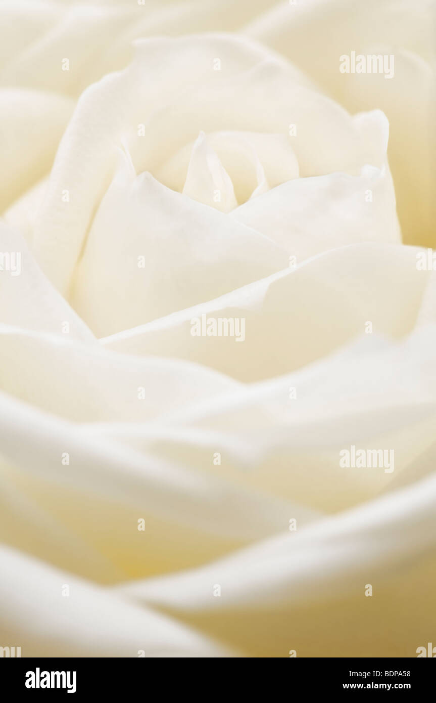 Close up of single white rosebud - Stock Image