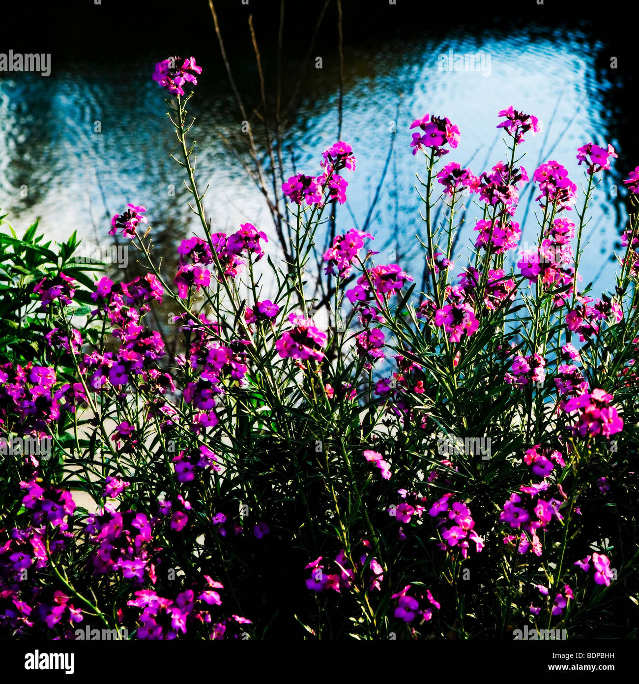 wild pink flowers against rippling water - Stock Image