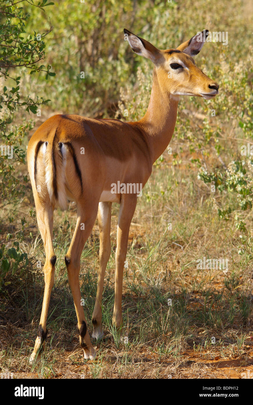 Impala female on the lookout - Stock Image