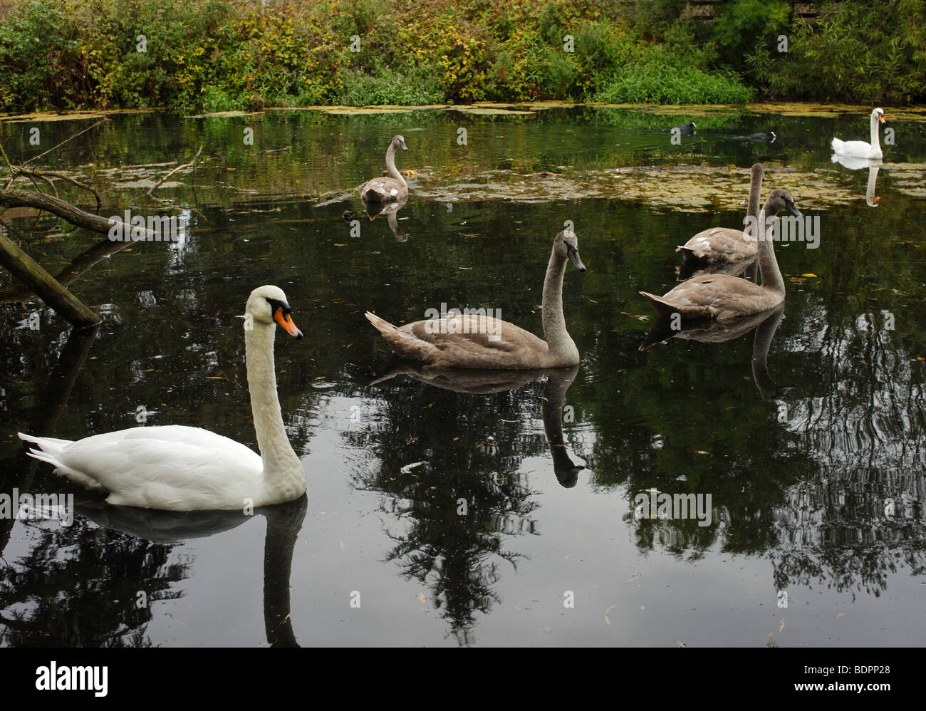 Swans and Cygnets. Stock Photo