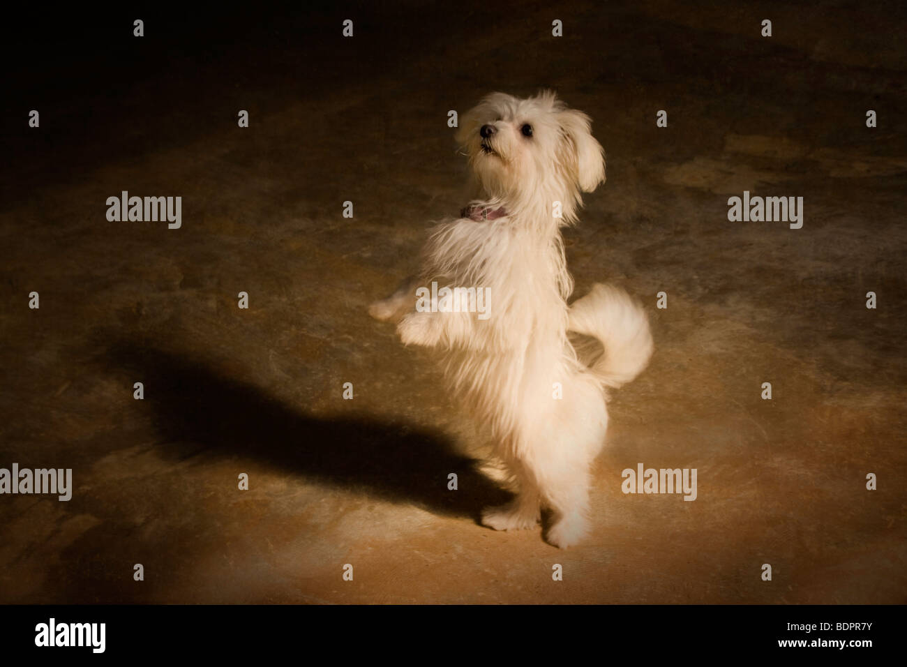 Daisy the cute dog standing on her hind legs - Stock Image