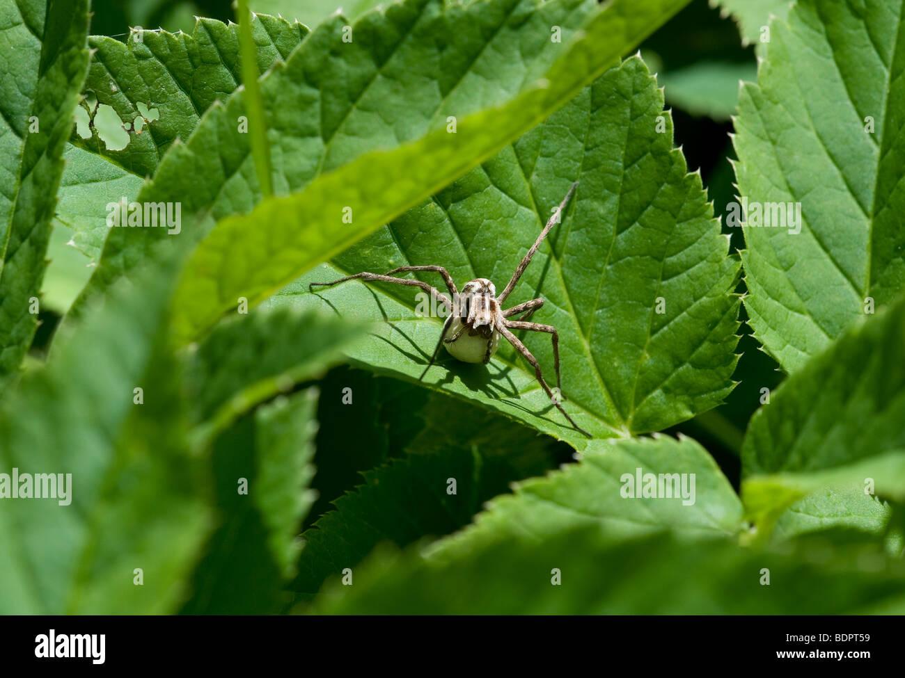 Araneae - Stock Image
