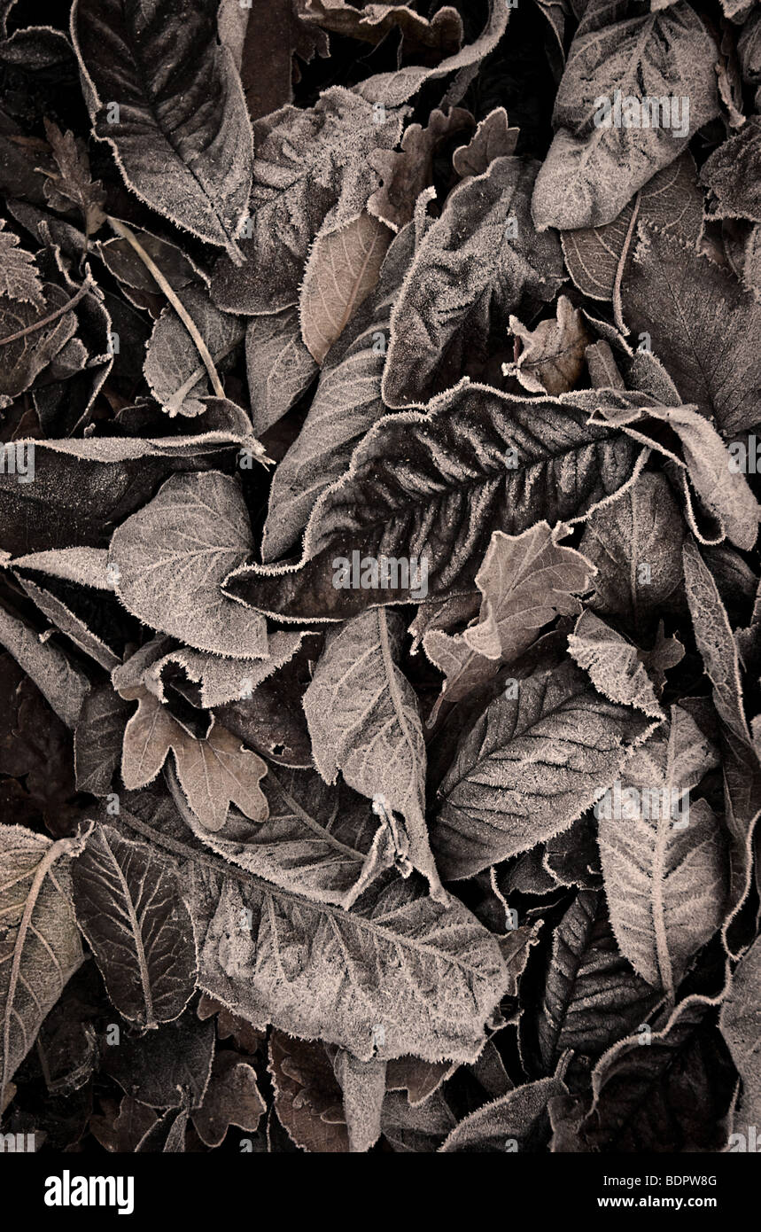 Autumn leaves with a touch of frost - Stock Image