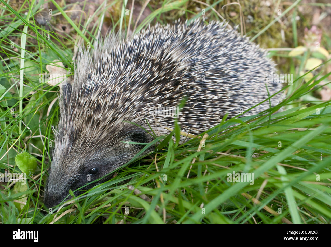 Baby hedgehog snuffling along in the long grass. - Stock Image