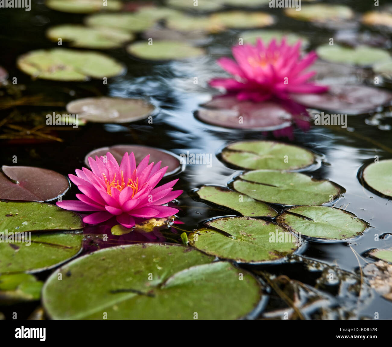a pond with two pink water lilies - Stock Image