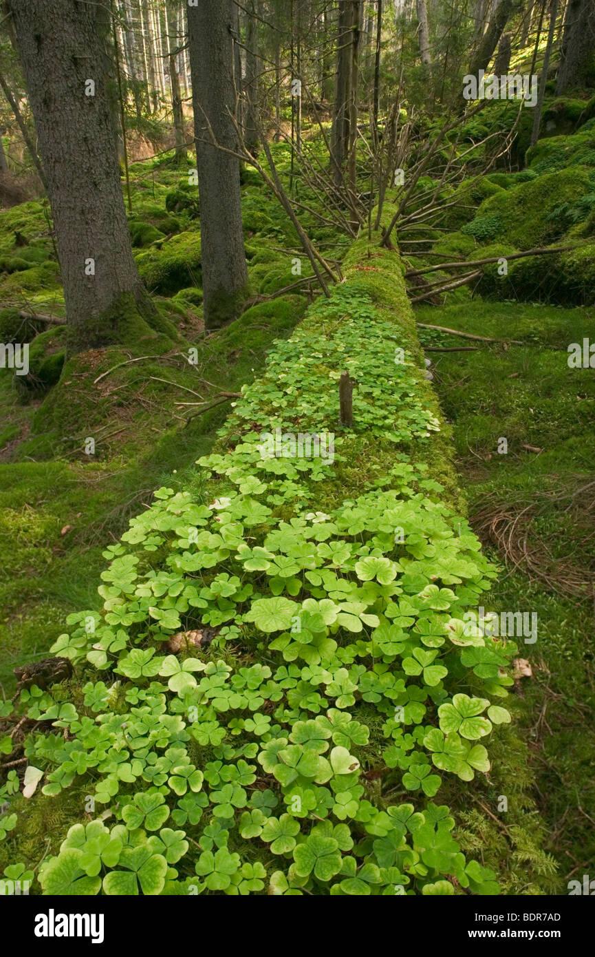 Wood sorrel in a forest Sweden. - Stock Image