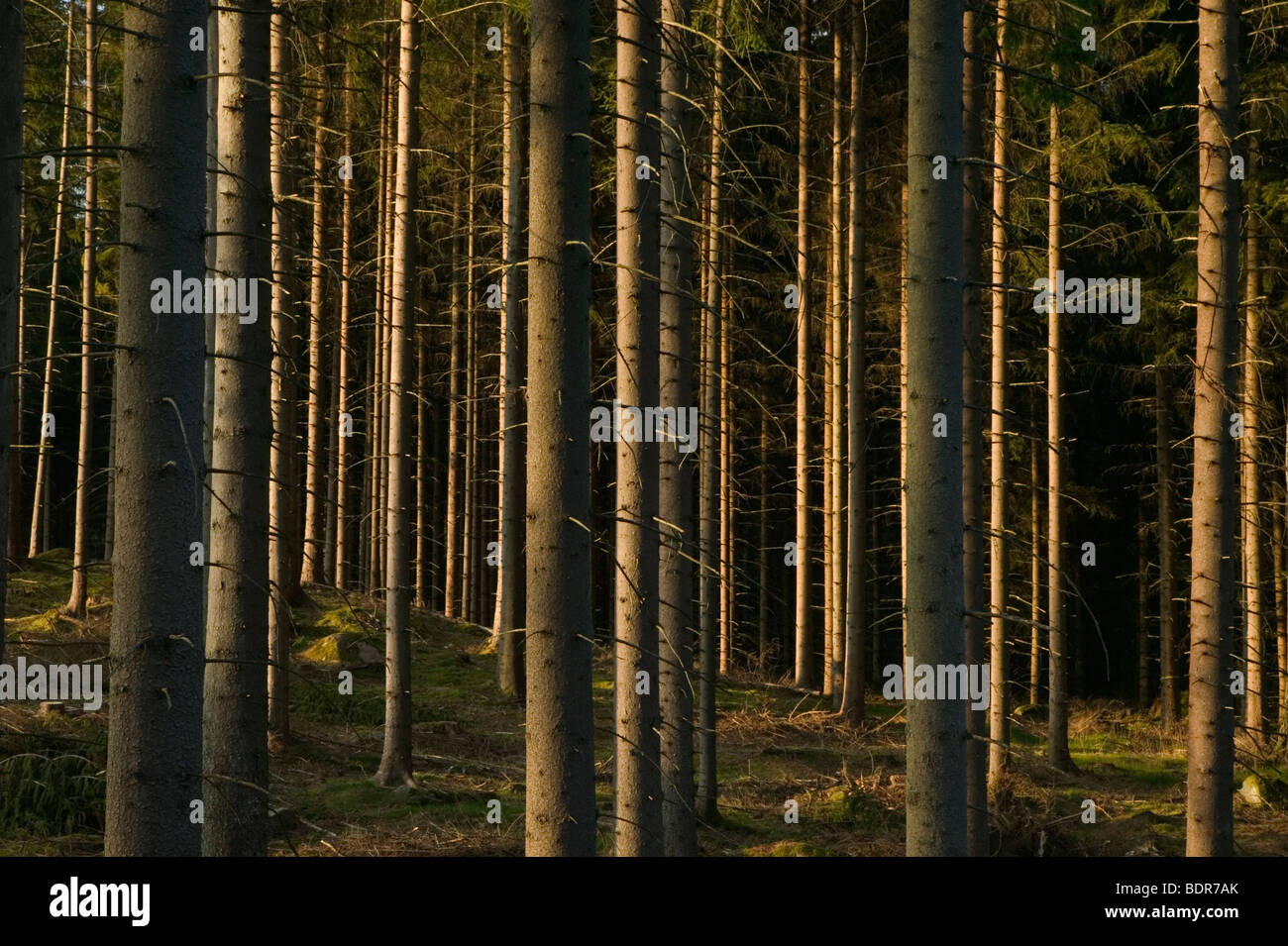 Spruceforest Sweden. Stock Photo