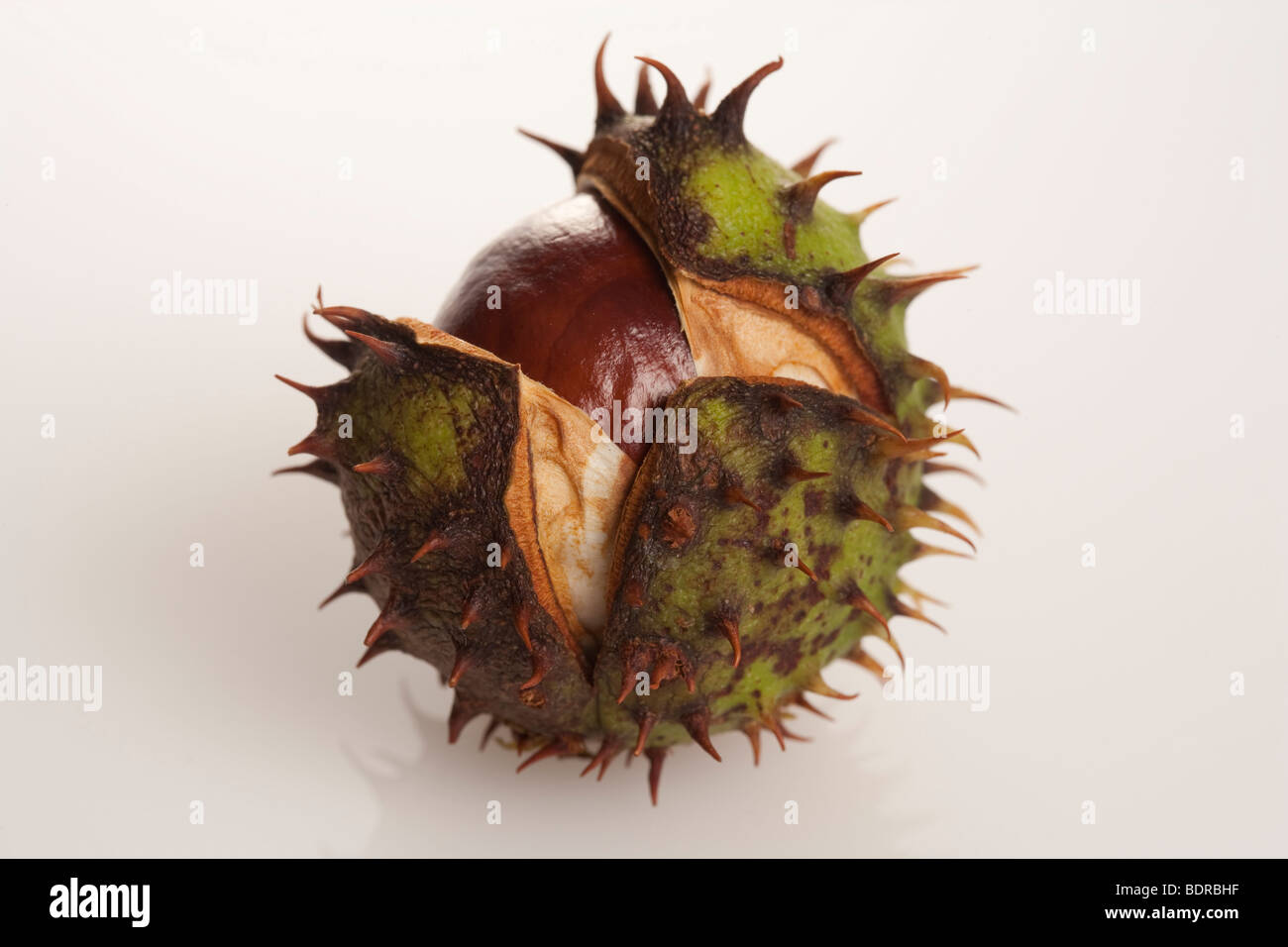 horse chestnut conker white background still life - Stock Image