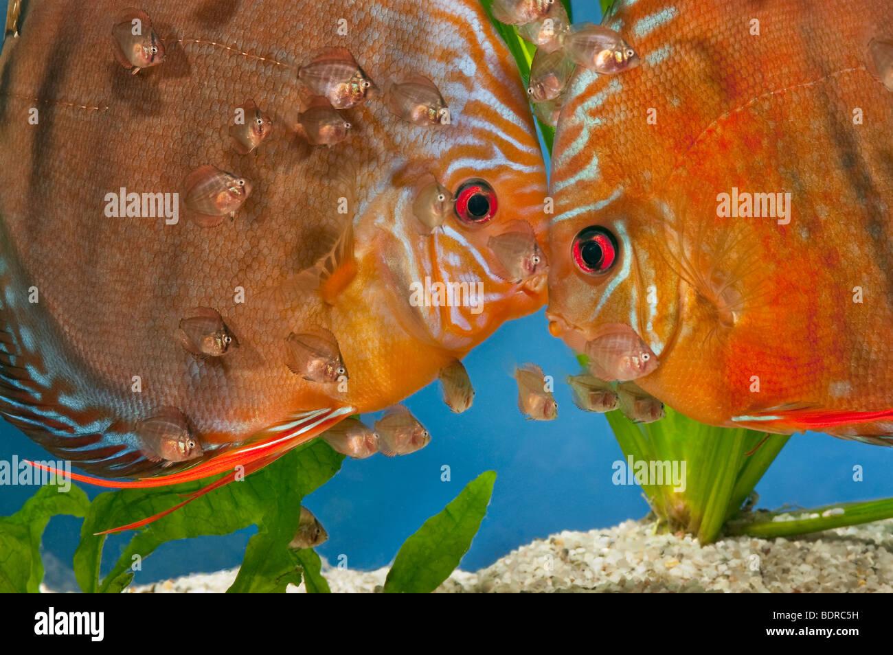 Pompadour Fish Stock Photos & Pompadour Fish Stock Images