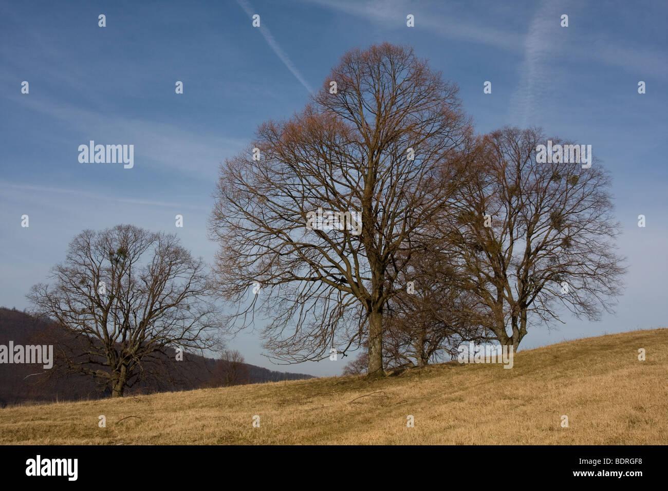 baum, baeume, misteln, Fruehling, teck, schwaebische alb, deutschland, tree, trees, mistletoes, spring, germany - Stock Image