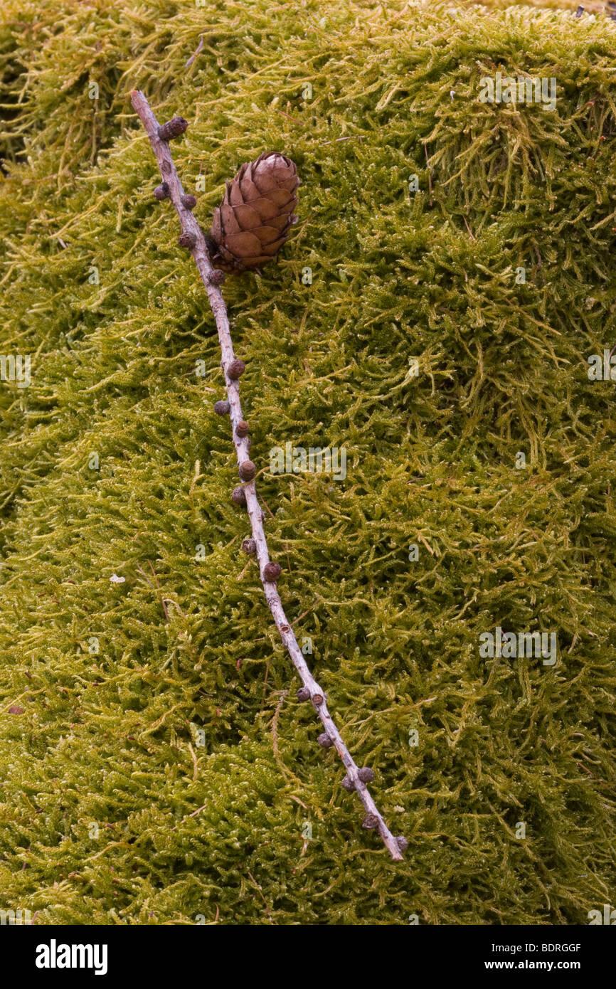 moos, zweig, moss, branch - Stock Image