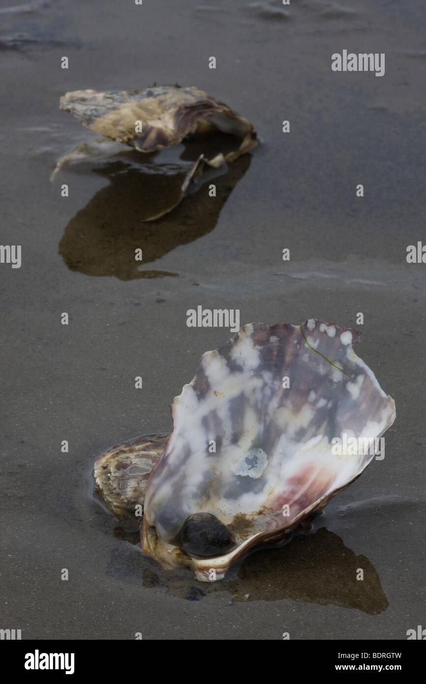 seashells at beach, Muschel, Muschelschale, Insel Texel, Niederlande, shell, mussel, the netherlands - Stock Image