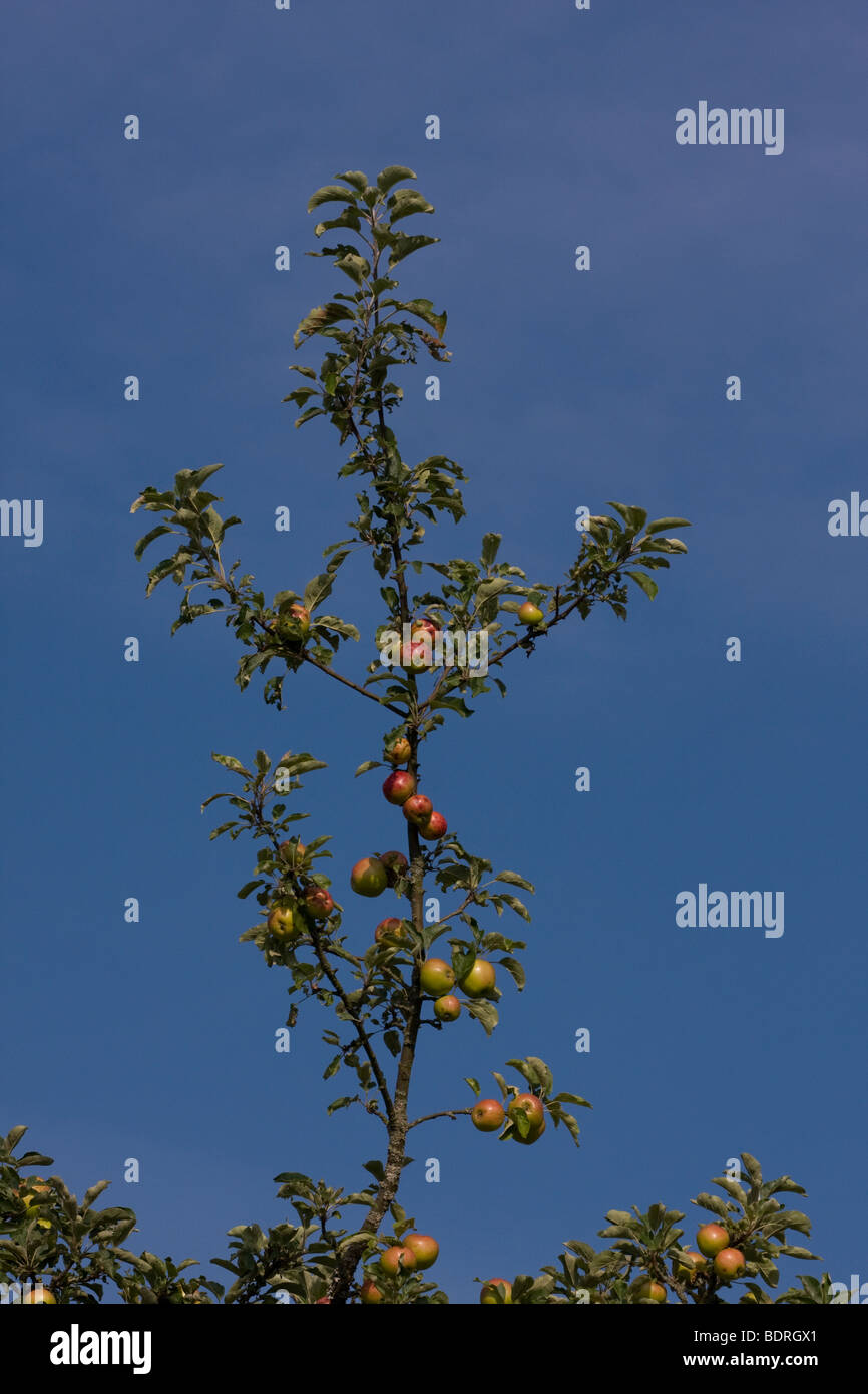 Aepfel, Apfelbaum, obstanbau, apple-tree, apple tree, Stock Photo