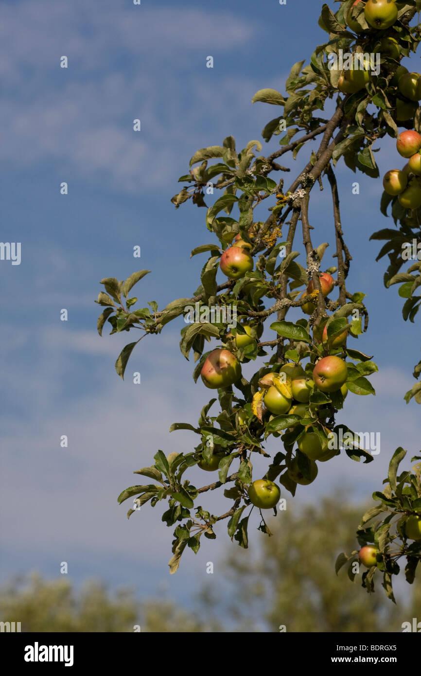 Aepfel, Apfelbaum, obstanbau, apple-tree, apple tree, Stock Photo
