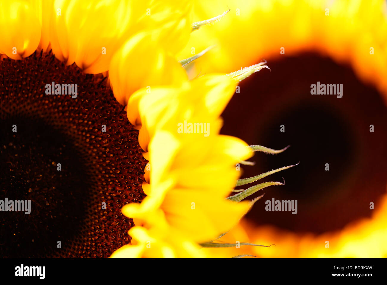striking impressive sunflower heads - fine art photography Jane-Ann Butler Photography JABP584 - Stock Image