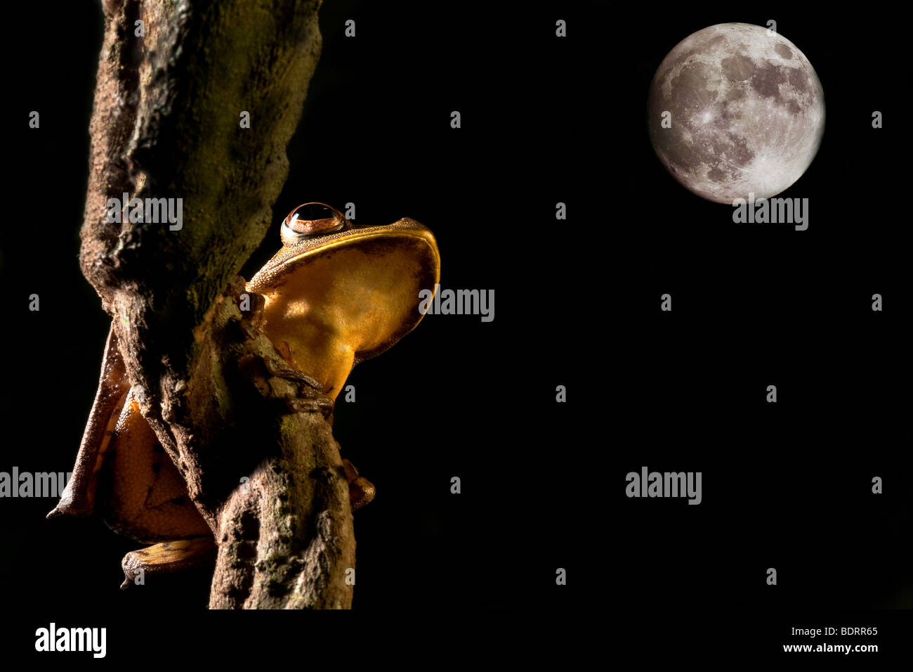 tree frog hypsiboas geograficus at night in the Bolivian jungle - Stock Image