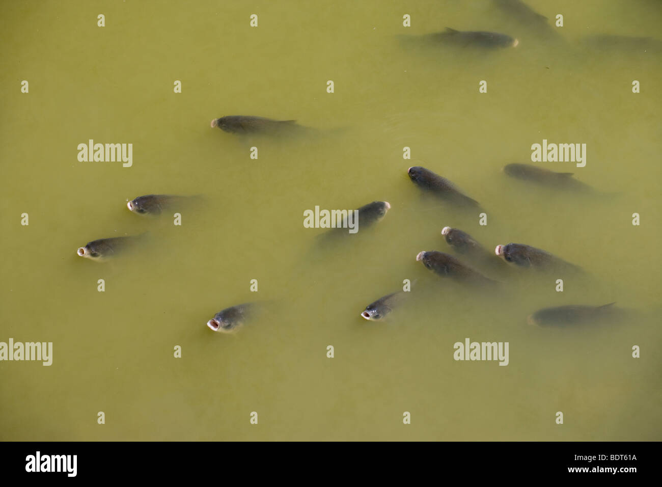 carp dying in low-level pool during dry period, East Fork Des Moines River, Okamanpedan State Park, Iowa - Stock Image