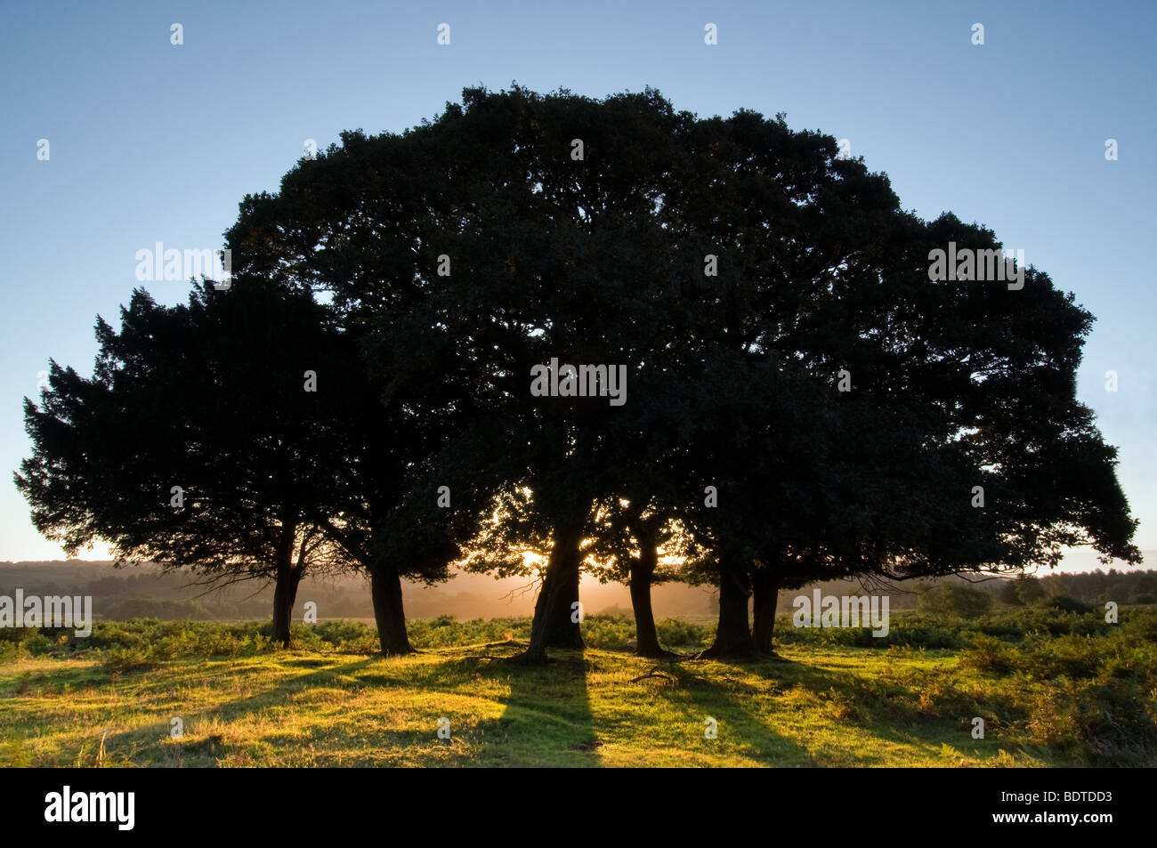 Backlit trees at Sunrise on Mogshade Hill in the New Forest National Park - Stock Image