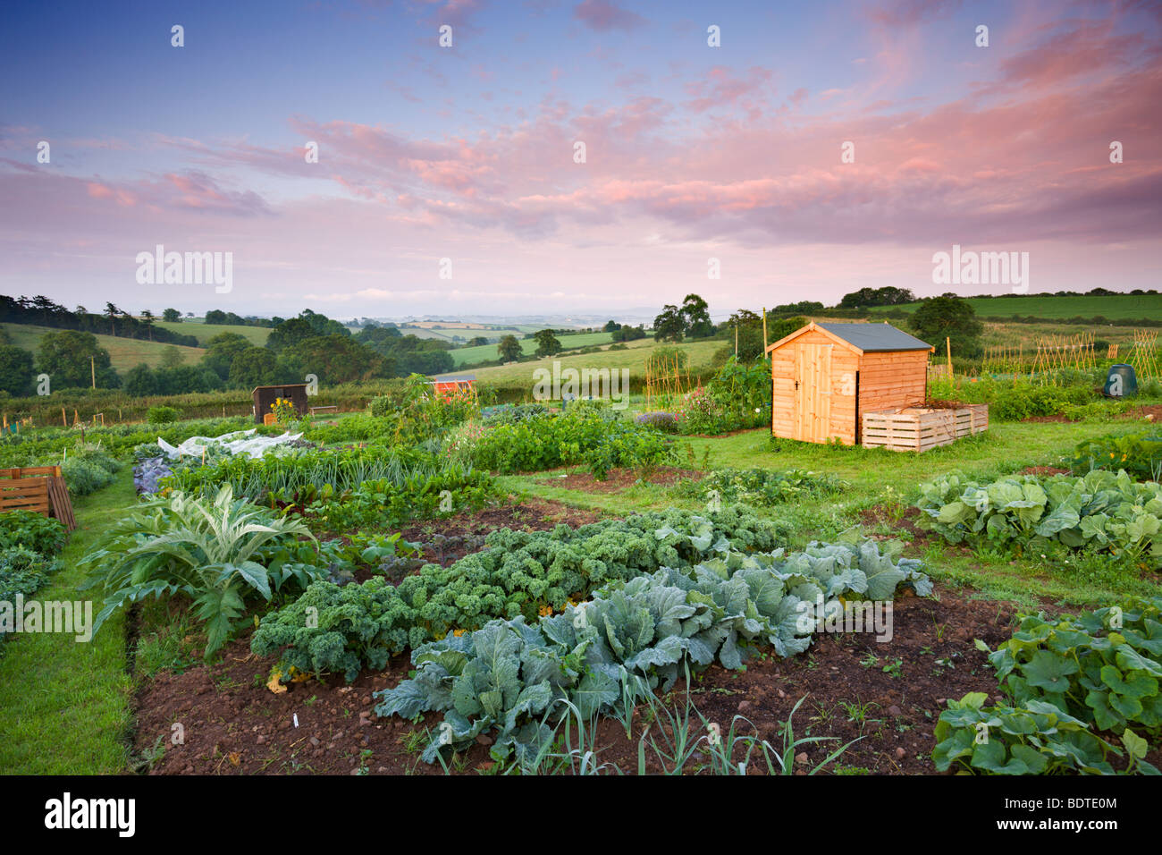 Vegetables growing on a rural Allotment, Morchard Bishop, Devon, England. Summer (July) 2009 - Stock Image