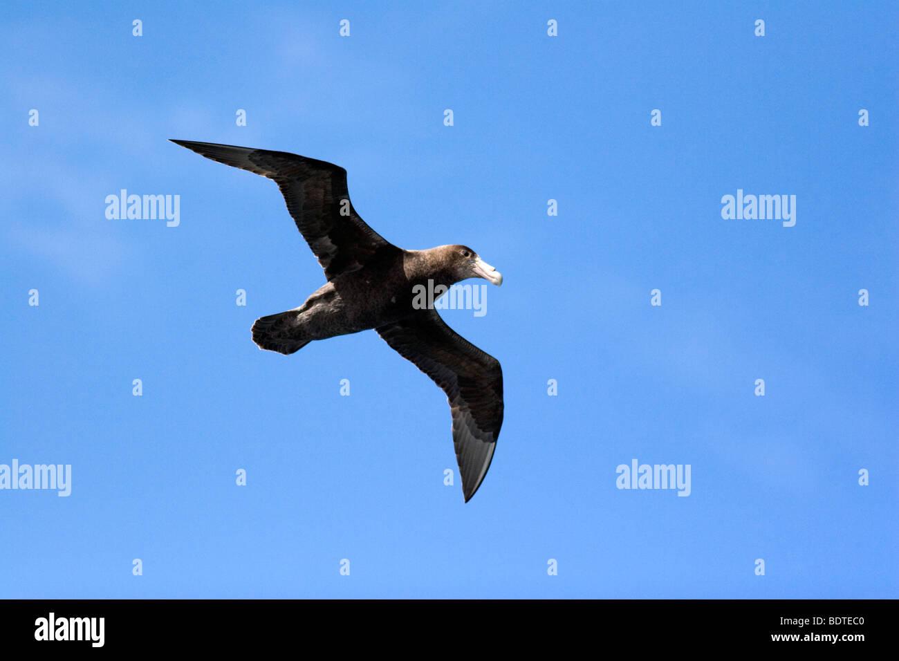 Juvenile Giant Petrel in flight near Cape Horn, Chile - Stock Image