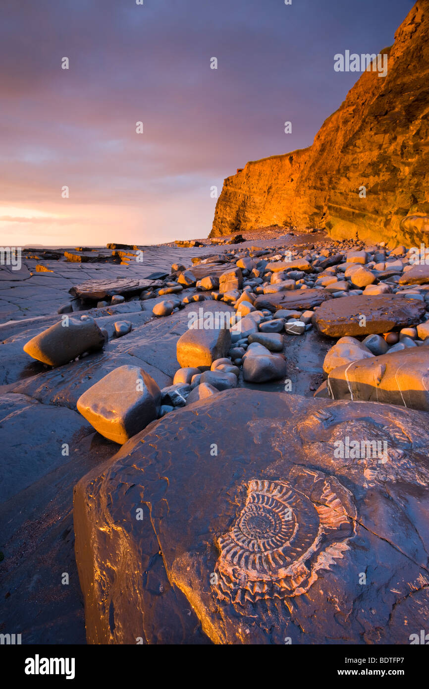 Ammonite fossils embedded in the rocks at Kilve, Somerset, England. Spring (May) 2009. N/A - Stock Image