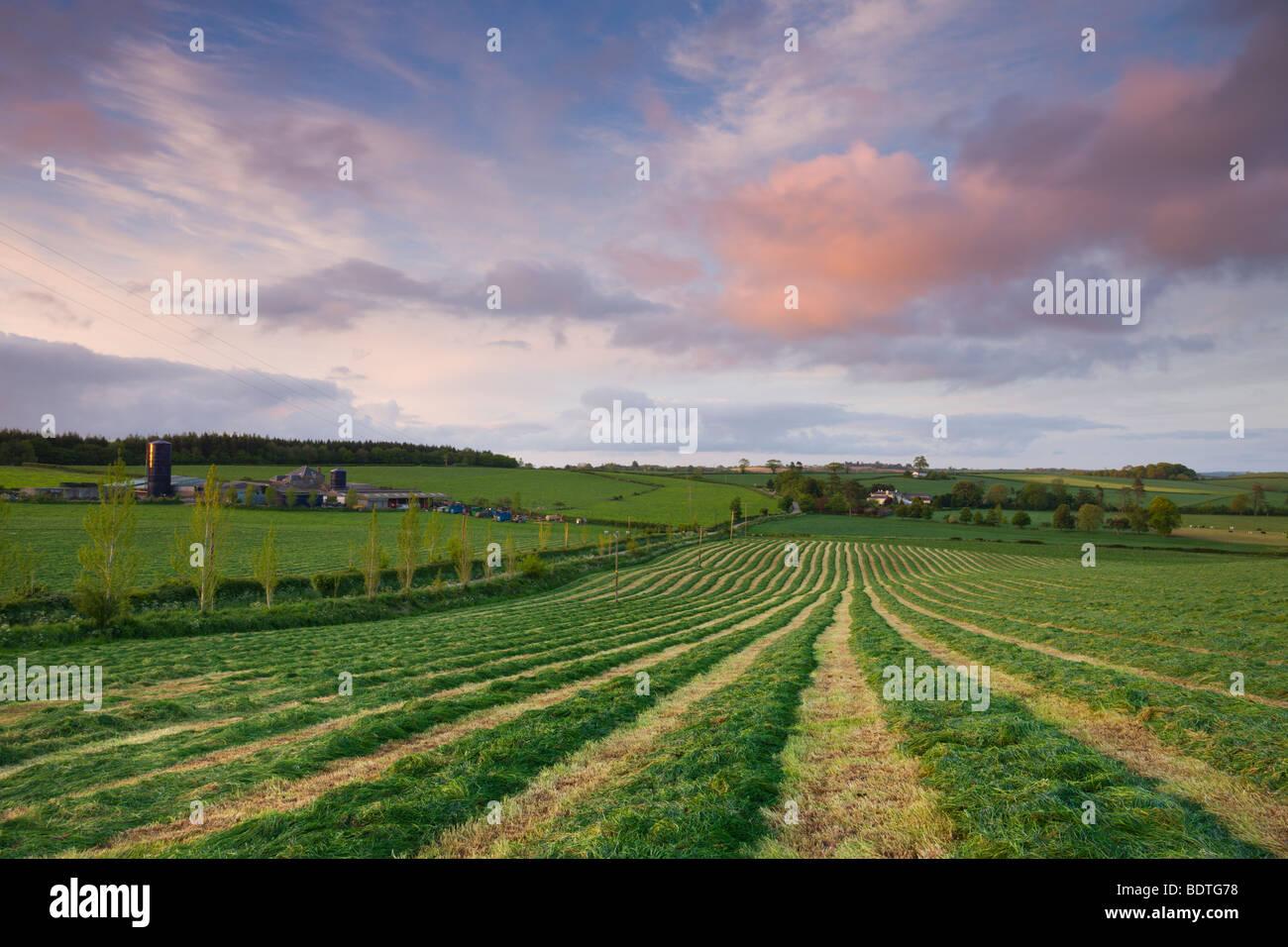 Freshly cut grass in a rural Devonshire field, Morchard Bishop, Devon, England. Spring (May) 2009 - Stock Image