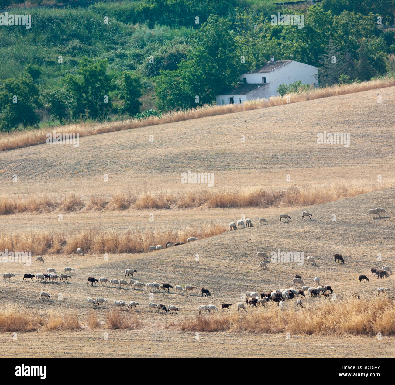 Herd of goats and sheep grazing dry pasture near Alhaurin de la Torre, Malaga Province, Spain - Stock Image