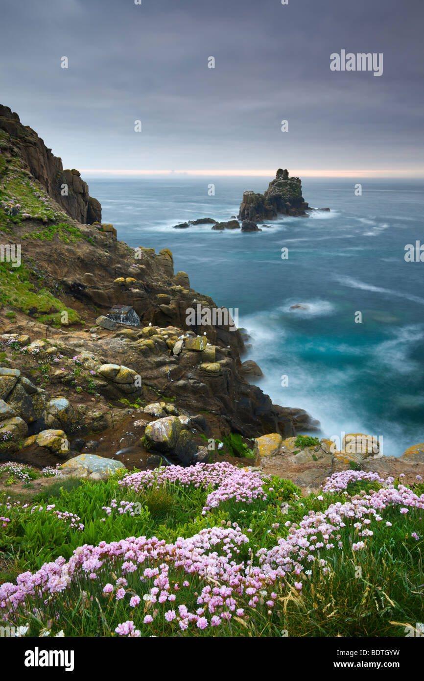 Thrift growing on the cliffs of Land's End, looking towards the Armed Knight rock stack, Cornwall, England. - Stock Image