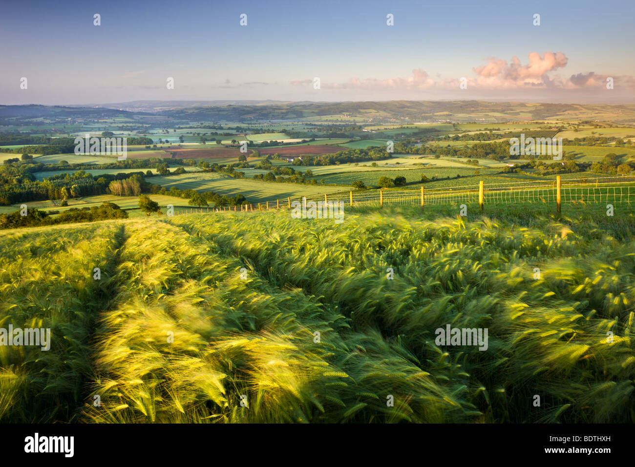 Golden ripened barley growing in a hilltop field in rural Devon, England. Summer (June) 2009 Stock Photo