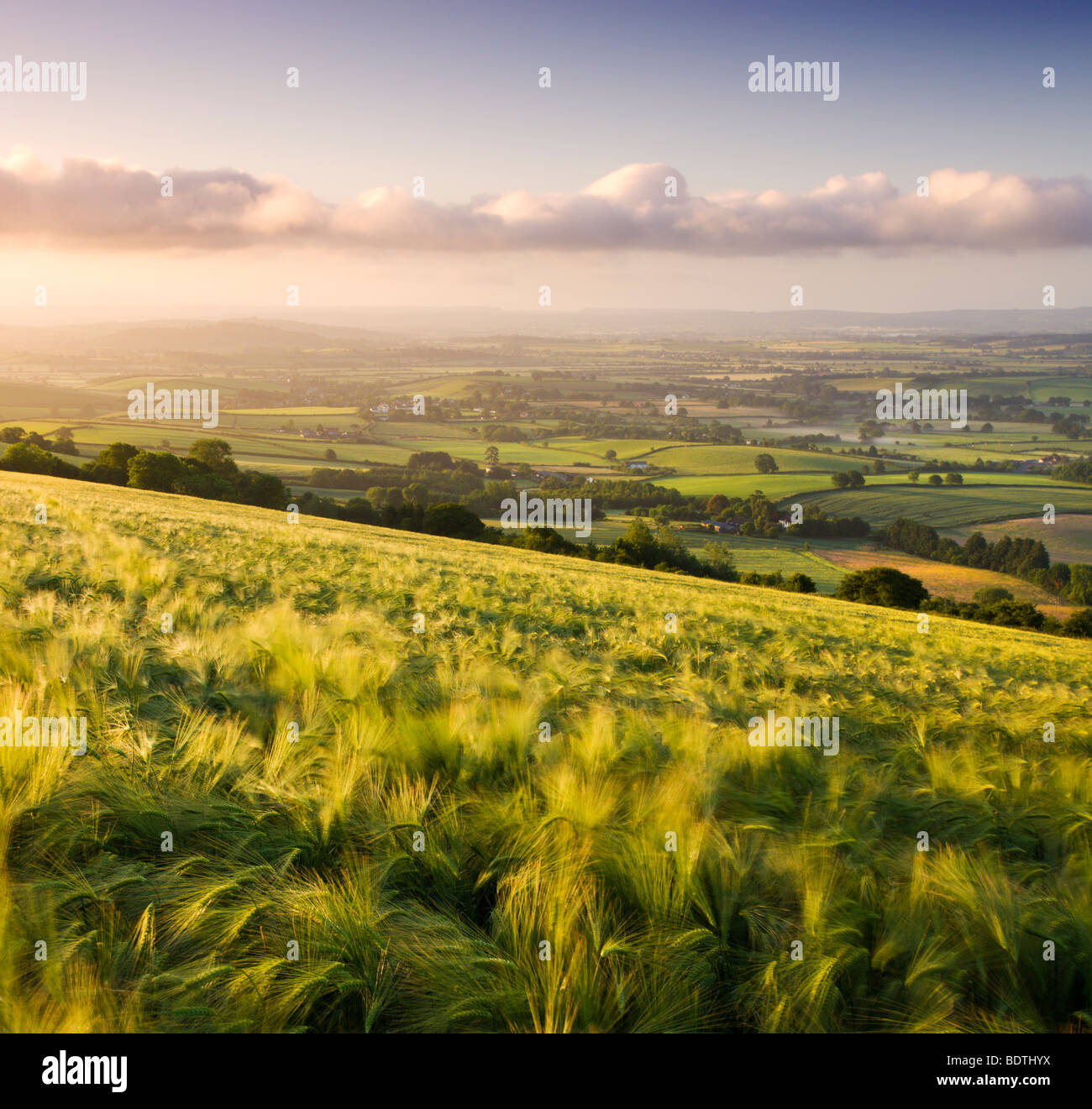 Golden ripened barley growing in a field in rural Devon, England. Summer (June) 2009 Stock Photo