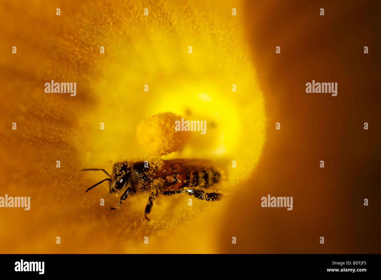 Close-up of a busy honeybee, with clearly visible pollen, inside a bright yellow flower collecting nectar. - Stock Image