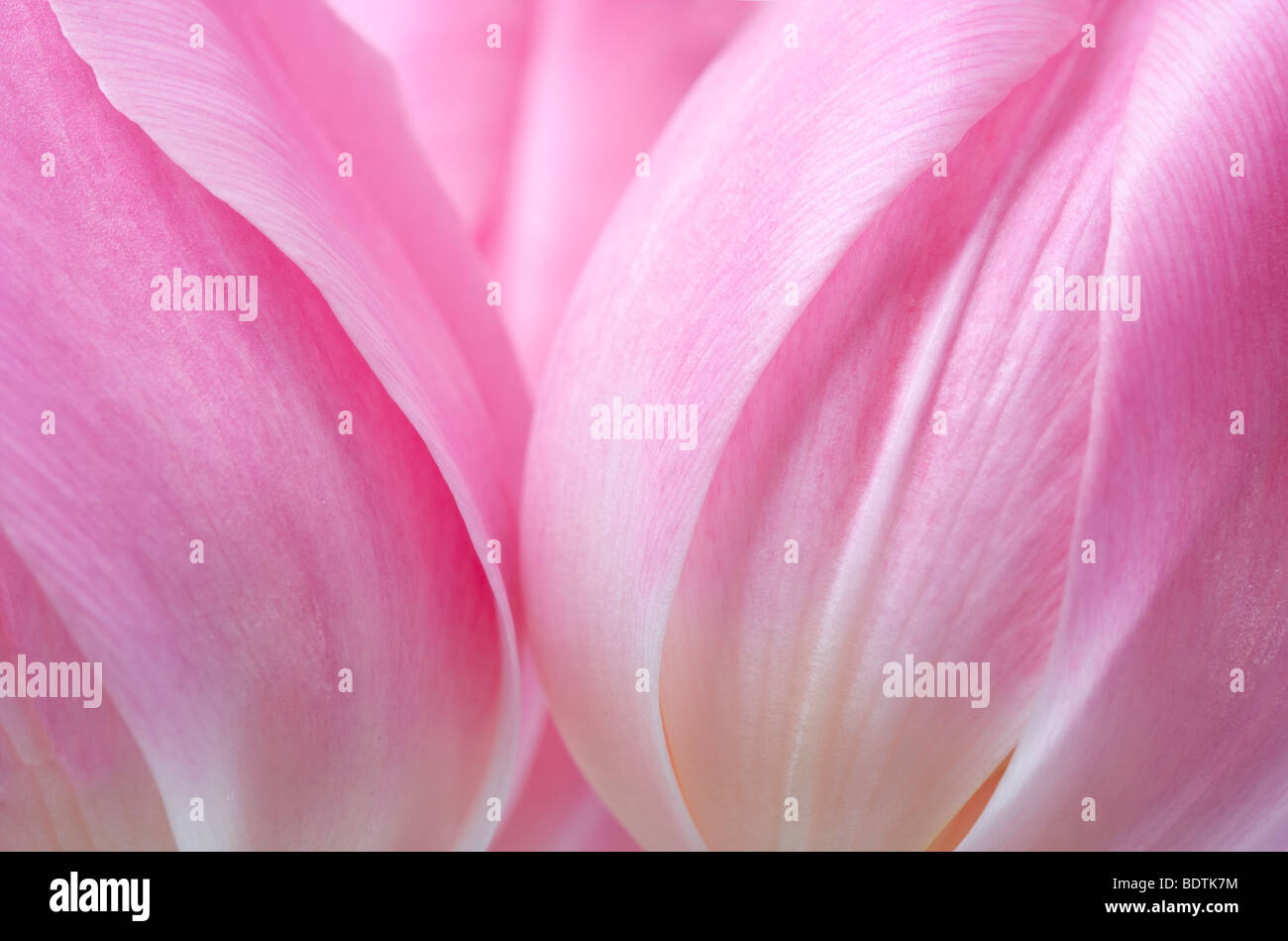 Pink Tulips Flowers - Stock Image