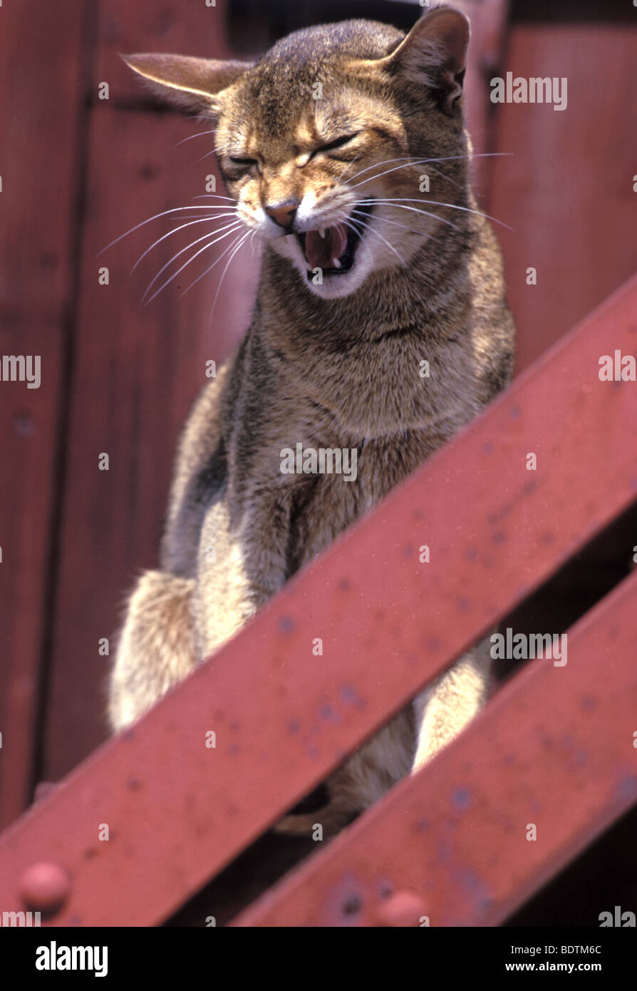 Cat meowing - Stock Image