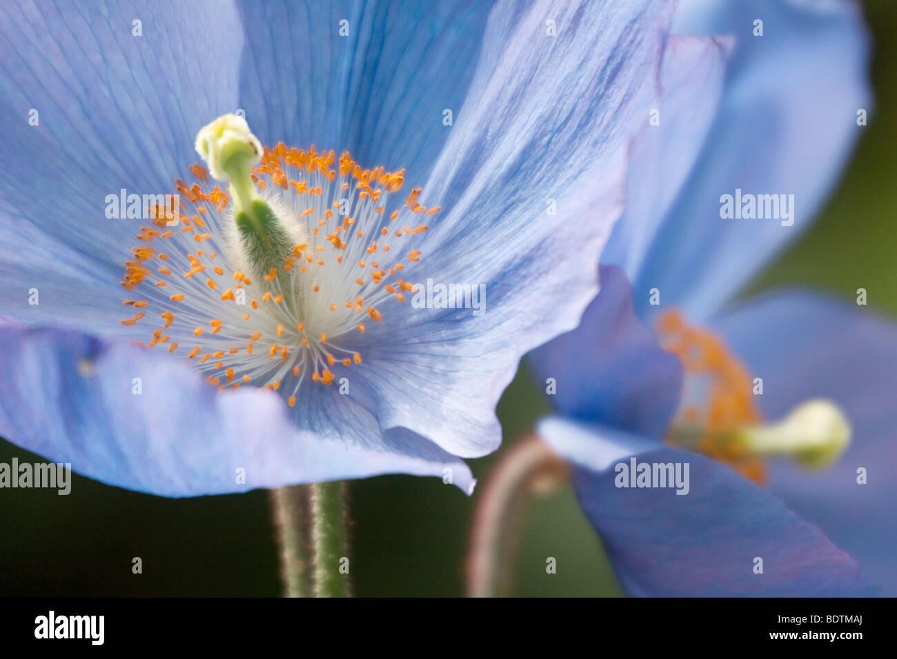 Blue Himalayan Poppy Meconopsis Betonicifolia - Stock Image