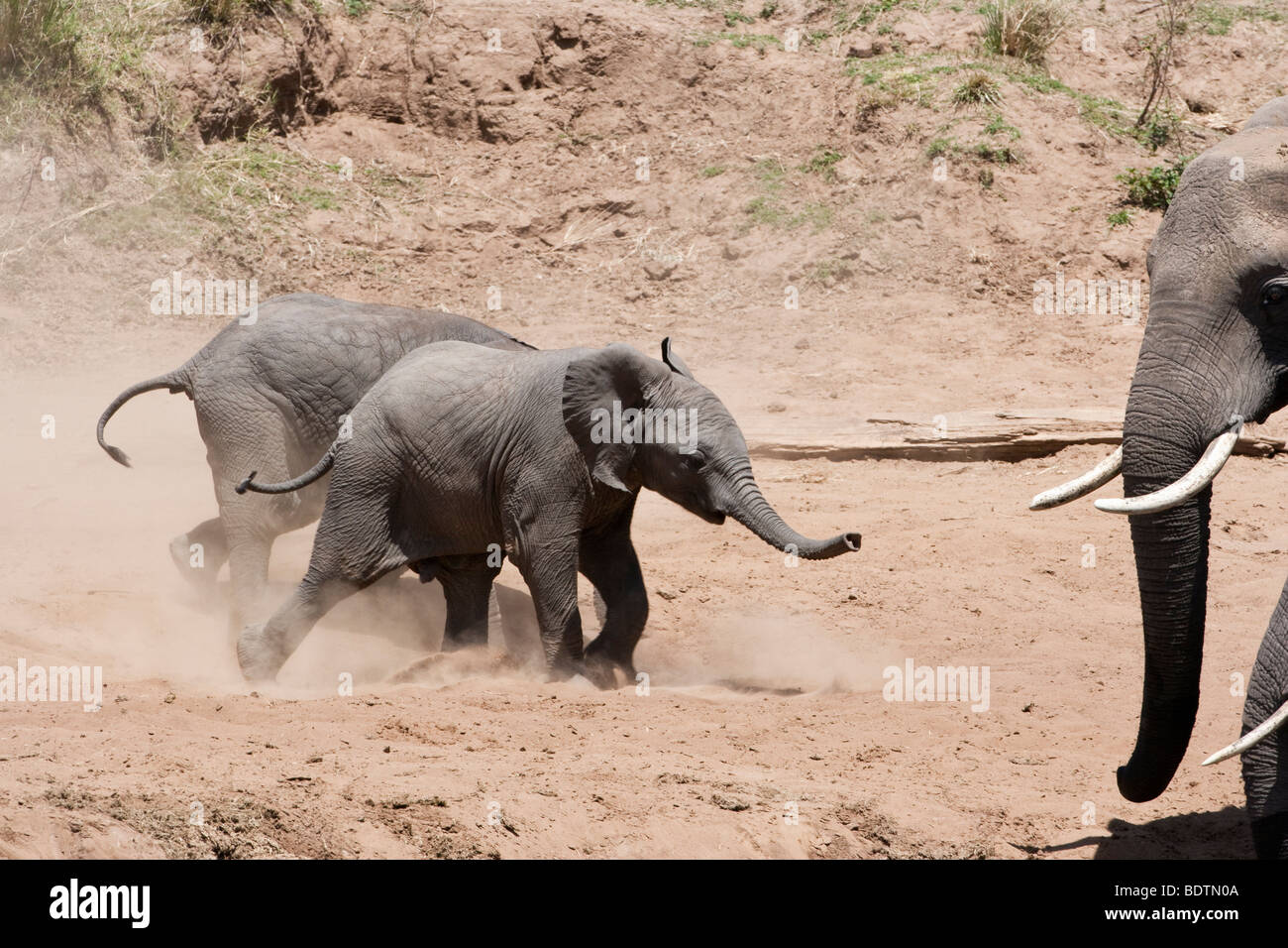 Adorable cute funny twin tiny baby African elephants excited running, stirring up dust, watched by adults at riverbank - Stock Image