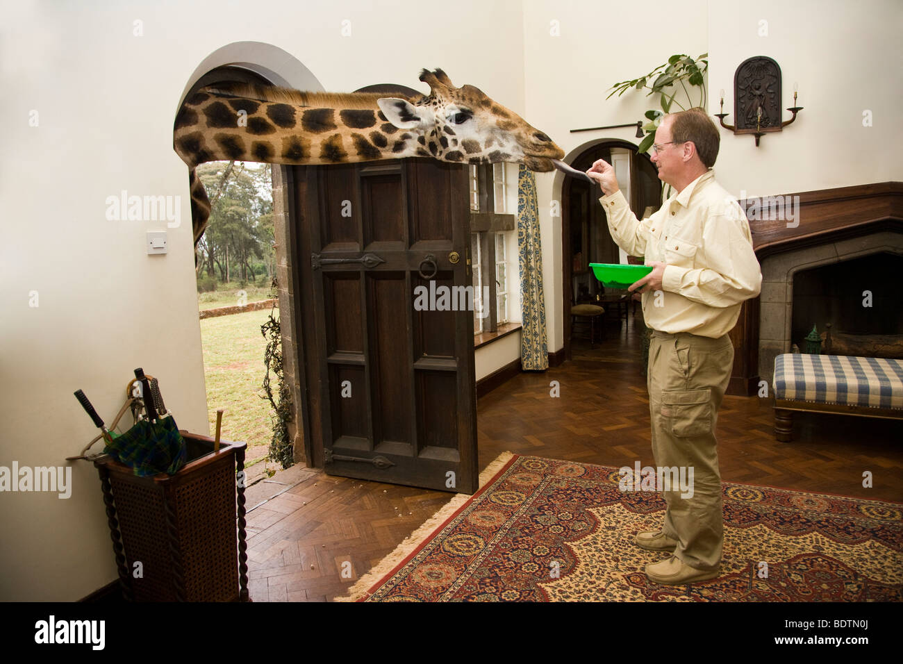 Male tourist at Giraffe Manor, Nairobi, Kenya feeding a giraffe sticking its head through the open doorway into - Stock Image