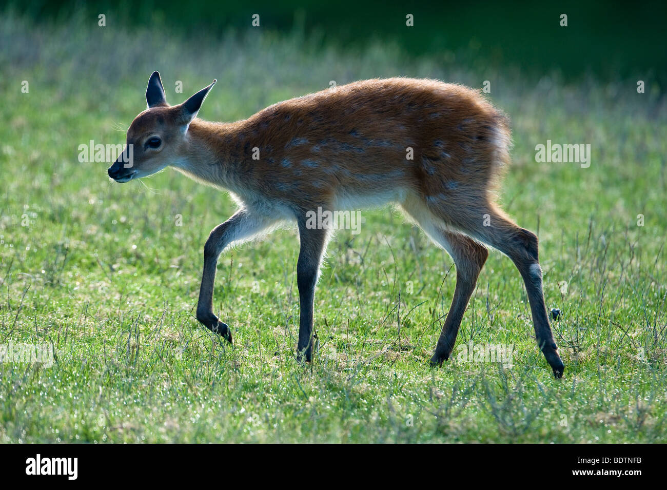 Sika (deer), Cervus nippon, young animal in backlight - Stock Image