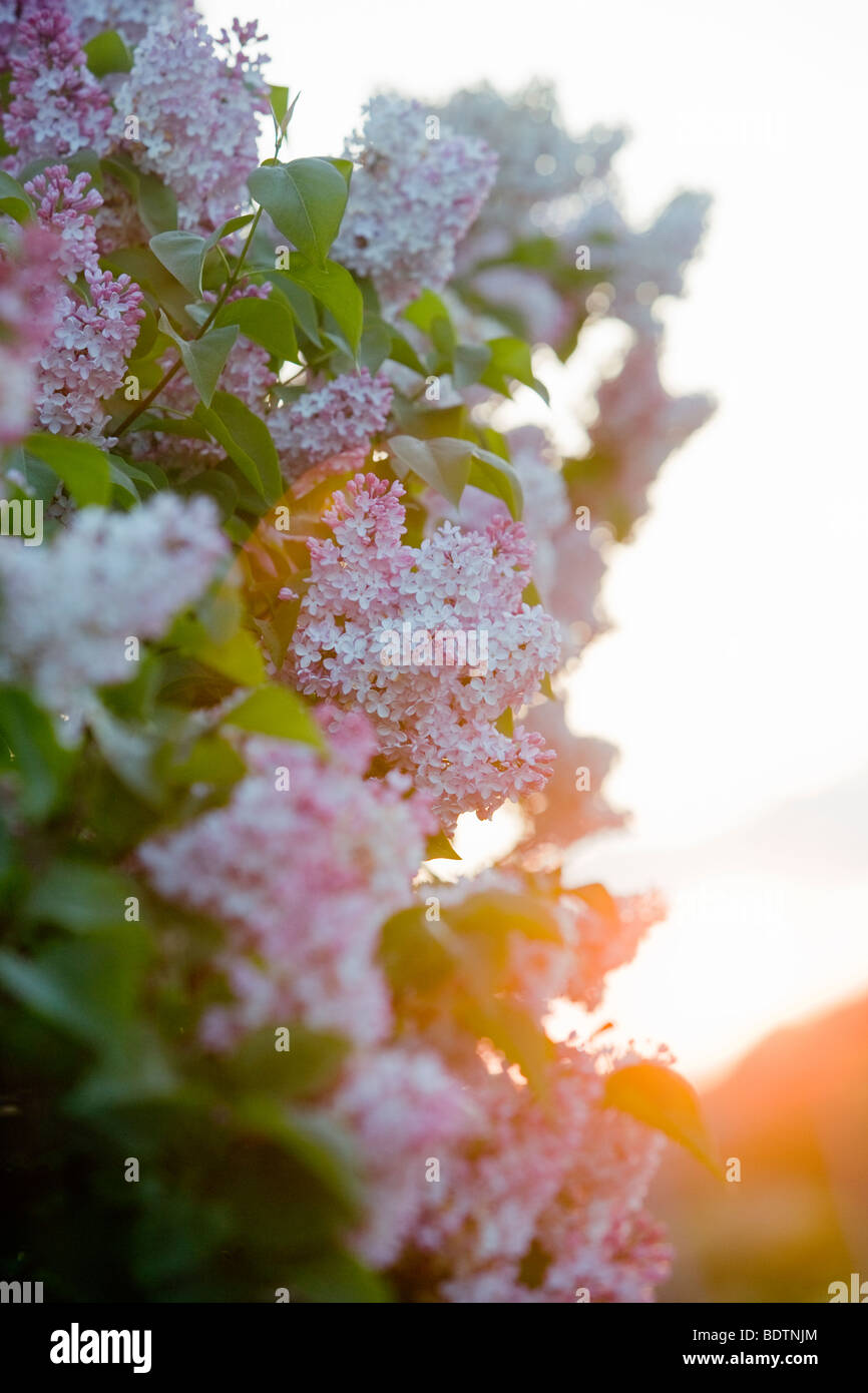 Flowering lilac against the evening sun - Stock Image
