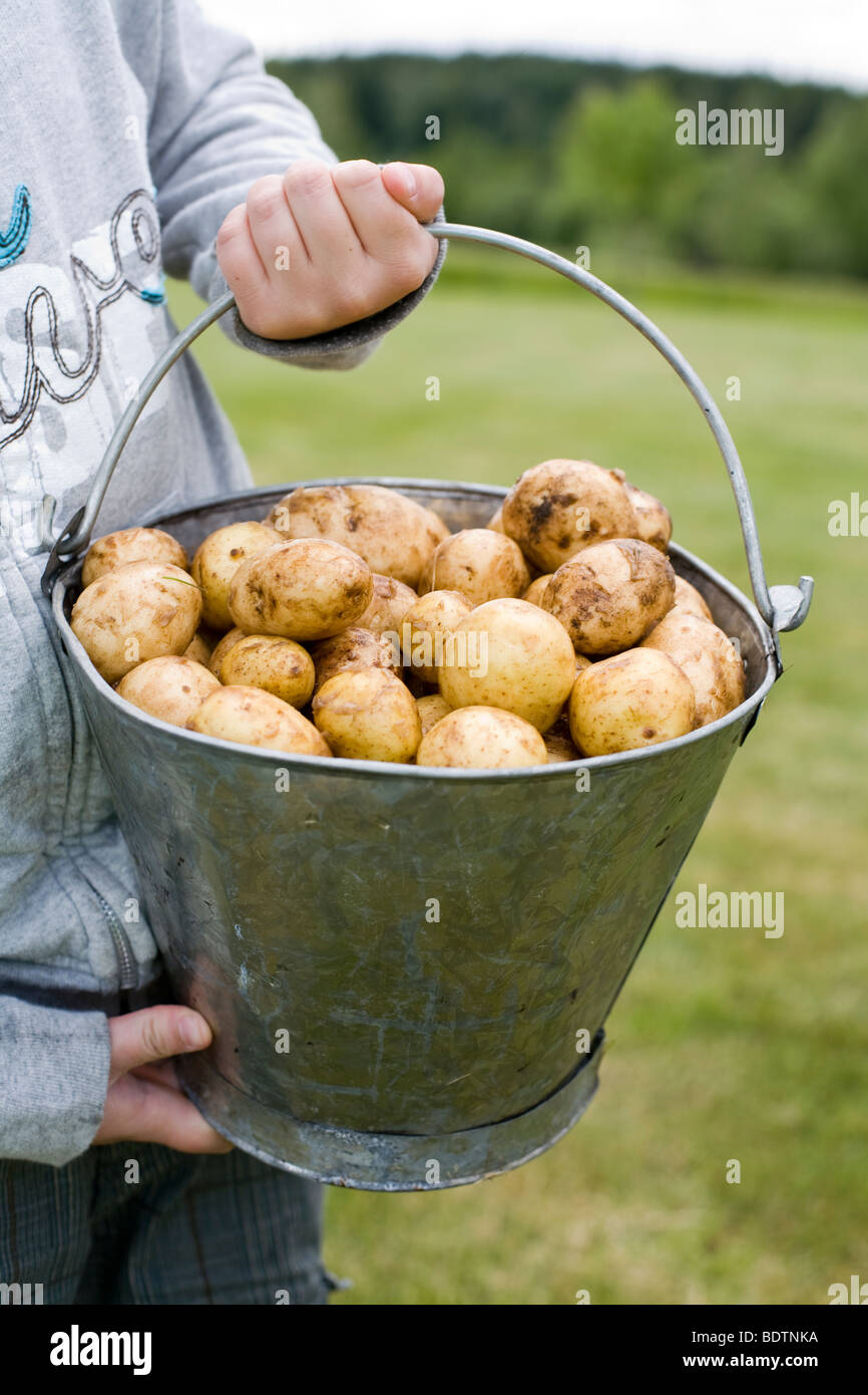 A tin pail of potatoes held by a boy Sweden. - Stock Image