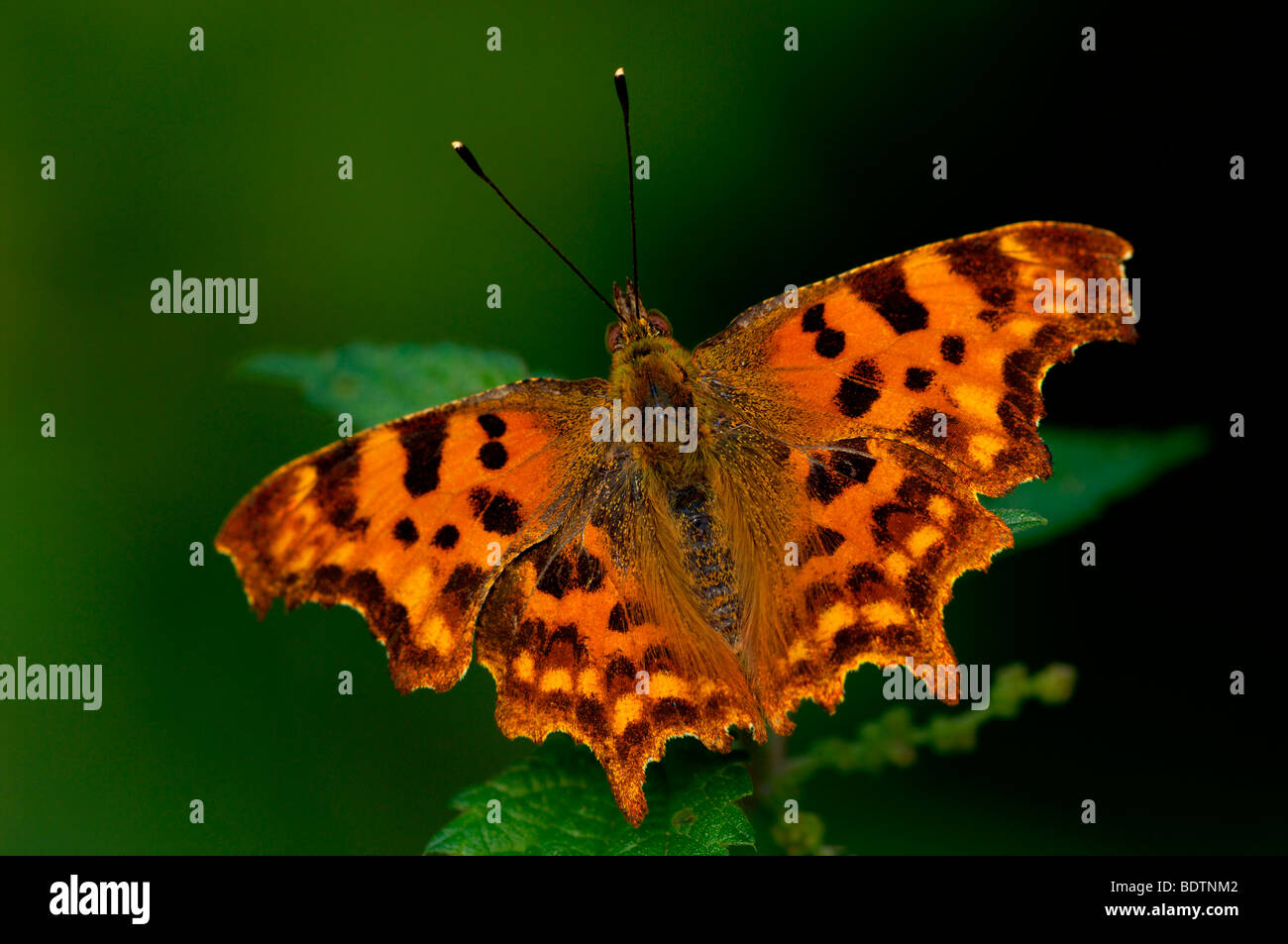 C-Falter, Polygonia c-album, comma butterfly - Stock Image